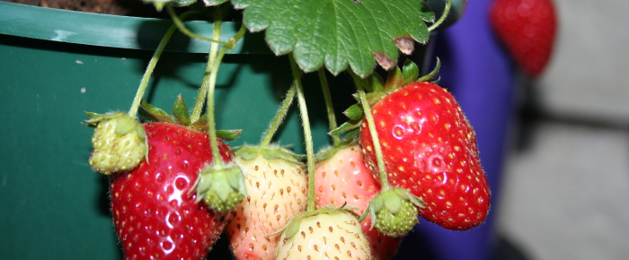 How to multiply strawberry plant ~ Cara mengembang biakkan strawberry