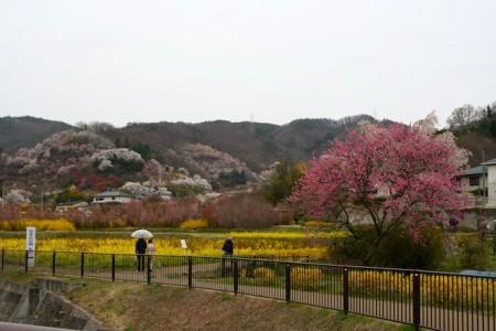 Hanamiyama Park Fukushima Cherry Blossom